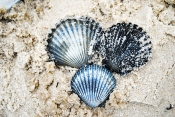 beach_seashells03