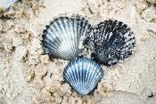 beach_seashells03