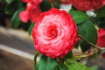 flower_cameilla01