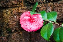 flower_cameilla03
