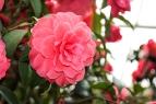 flower_cameilla04