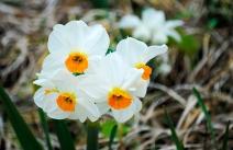 flower_daffodils