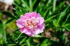 flower_ncma01