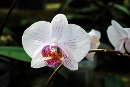 flower_orchid02