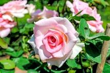 owg_rose01