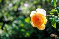 owg_rose02